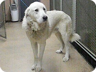 Great Pyrenees Dog for adoption in Tyner, North Carolina - Hercules