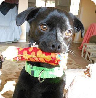 Chihuahua/Pug Mix Dog for adoption in El Cajon, California - Leroy