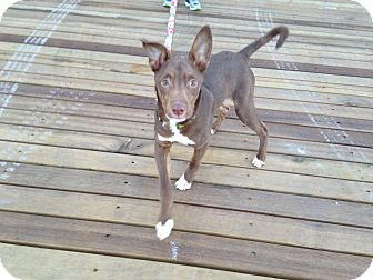 Italian Greyhound/Hound (Unknown Type) Mix Puppy for adoption in Long Beach, New York - Mini Madison
