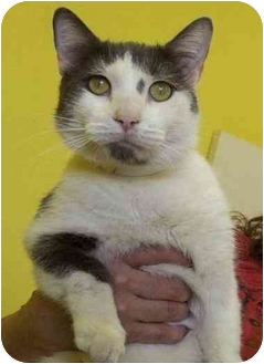 Domestic Shorthair Cat for adoption in Las Vegas, Nevada - Lucky Louie