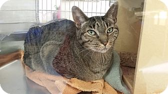Egyptian Mau Cat for adoption in East Hartford, Connecticut - Tiny--in Manchester CT