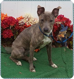 Whippet/Labrador Retriever Mix Dog for adoption in Marietta, Georgia - LEA