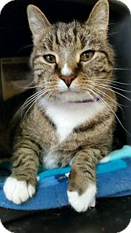 Domestic Shorthair Cat for adoption in Edwards AFB, California - Johnny