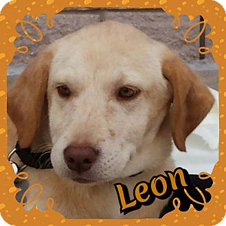Labrador Retriever Mix Puppy for adoption in Newnan, Georgia - Leon