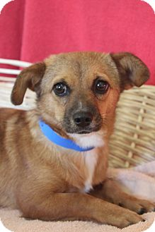 Feist Mix Dog for adoption in Waldorf, Maryland - Lucy