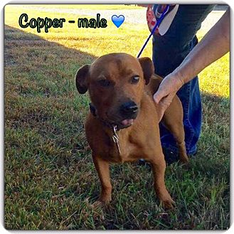 Beagle Mix Dog for adoption in Allentown, Pennsylvania - Copper (POM)