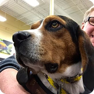 Beagle Dog for adoption in Buffalo, New York - Hermie