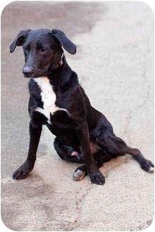 Labrador Retriever/Australian Shepherd Mix Dog for adoption in Portland, Oregon - Billy