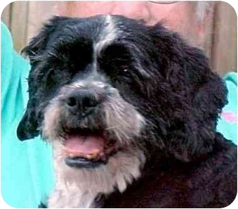 Shih Tzu/Spaniel (Unknown Type) Mix Dog for adoption in Proctorville, Ohio, Ohio - Cooper
