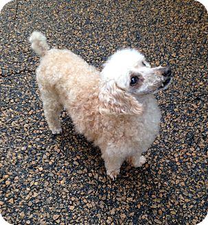 Poodle (Miniature) Dog for adoption in McDonough, Georgia - Duncan