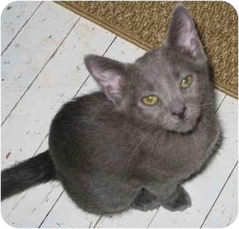 Domestic Shorthair Cat for adoption in Cincinnati, Ohio - Frisky kitten