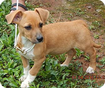 Corgi/Terrier (Unknown Type, Small) Mix Puppy for adoption in SUSSEX, New Jersey - Charlotte(10 lb) New Pic/Video