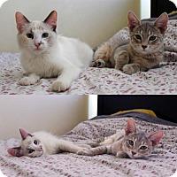 Calico Cat for adoption in Los Angeles, California - Azul & Luna