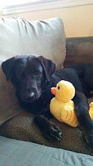 Labrador Retriever Mix Dog for adoption in New York, New York - Carlos