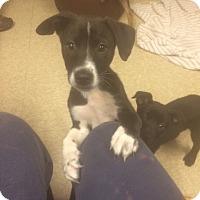 Adopt A Pet :: 7 Box puppies - Fair Oaks Ranch, TX