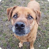 Adopt A Pet :: Spencer-adoption pending - Schaumburg, IL