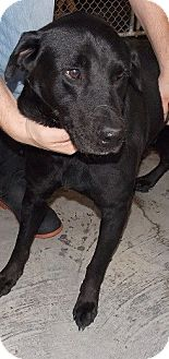 Labrador Retriever/Retriever (Unknown Type) Mix Dog for adoption in Billerica, Massachusetts - Quimby