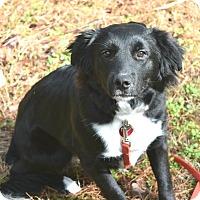 Adopt A Pet :: Callie 💟 ADOPTED! - Saratoga Springs, NY