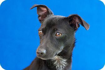 Dachshund/Terrier (Unknown Type, Small) Mix Dog for adoption in Coronado, California - Carlie