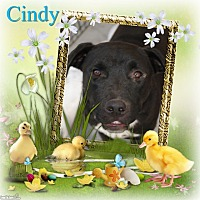 Adopt A Pet :: Cindy - Crowley, LA