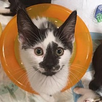 Domestic Shorthair Kitten for adoption in Boynton Beach, Florida - India