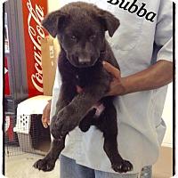 Adopt A Pet :: Bubba - Tampa, FL