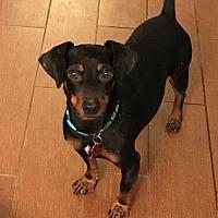 Dachshund Dog for adoption in Pearland, Texas - Carmelo