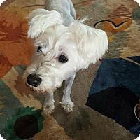 Adopt A Pet :: Lilly Sue - Spring, TX