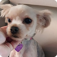 Adopt A Pet :: Sonya - Covina, CA