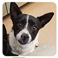 Jack Russell Terrier Mix Dog for adoption in Beverly Hills, California - Cosmo