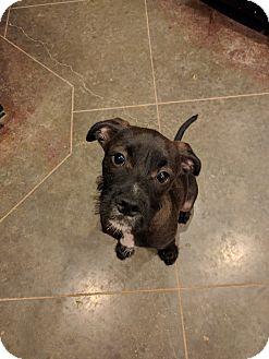 Schnauzer (Standard) Mix Puppy for adoption in HAGGERSTOWN, Maryland - Scruffy