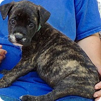 Adopt A Pet :: Dunkin - Joplin, MO