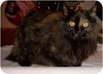 Maine Coon Cat for adoption in Warsaw, Missouri - Gracie
