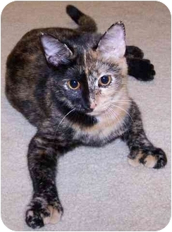 Domestic Shorthair Cat for adoption in Sheboygan, Wisconsin - Maude