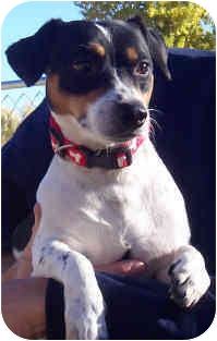 Jack Russell Terrier Mix Dog for adoption in Phoenix, Arizona - GEORGE