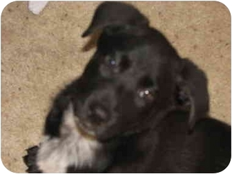German Shepherd Dog/Labrador Retriever Mix Puppy for adoption in STREETSBORO, Ohio - Parker