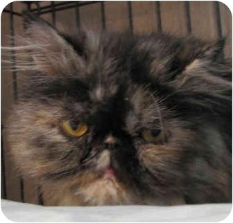 Persian Cat for adoption in Davis, California - Sheba's Girl