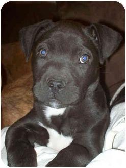 American Pit Bull Terrier/American Staffordshire Terrier Mix Puppy for adoption in El Segundo, California - Samson