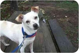 Chihuahua Dog for adoption in Fair Oaks Ranch, Texas - Mollie