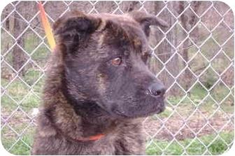 Akita/Boxer Mix Dog for adoption in Everman, Texas - Argo