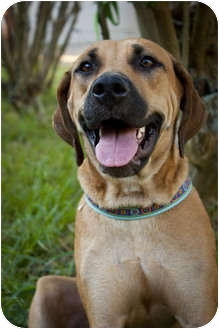 Rhodesian Ridgeback/Black Mouth Cur Mix Dog for adoption in Tampa, Florida - Maybelline