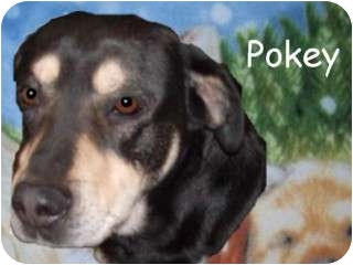 German Shepherd Dog/Doberman Pinscher Mix Dog for adoption in Cut Bank, Montana - Pokey