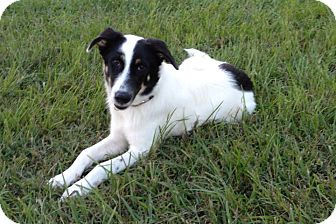 Border Collie Mix Puppy for adoption in Homestead, Florida - Tucker