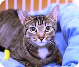 Domestic Shorthair Cat for adoption in Norwalk, Connecticut - Darcy