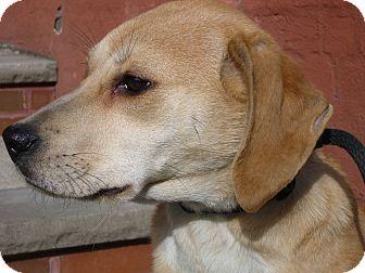 Beagle/Labrador Retriever Mix Puppy for adoption in Brooklyn, New York - JUDY