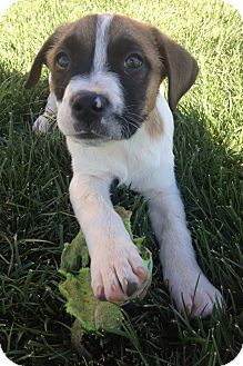 Boxer Mix Puppy for adoption in Woodland, California - Tyson