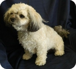 Shih Tzu Mix Dog for adoption in Columbus, Nebraska - Babe