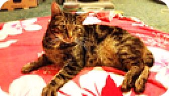 Domestic Mediumhair Cat for adoption in Vancouver, British Columbia - Webster
