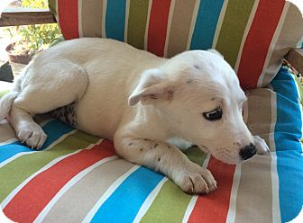 Labrador Retriever Mix Puppy for adoption in Glenburn, Maine - Abby