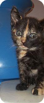 Domestic Shorthair Kitten for adoption in Warrenton, North Carolina - Kitties